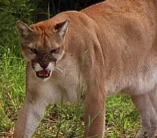 Angry Cougar Leaving The Scene